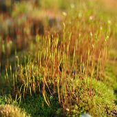 image of spores  - Moss with spores in spring forest closeup - JPG