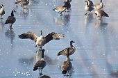 pic of snow goose  - A Canada Goose Landing on Frozen Lake - JPG