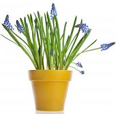 Blue Spring Grape muscari hyacinth in yellow flowerpot Isolated on white background