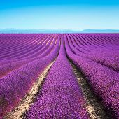 picture of plateau  - Lavender flower blooming scented fields in endless rows - JPG