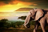 stock photo of kilimanjaro  - Elephant on savanna landscape background and Mount Kilimanjaro at sunset - JPG