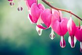 image of broken heart flower  - Close up image of Bleeding heart flower - JPG