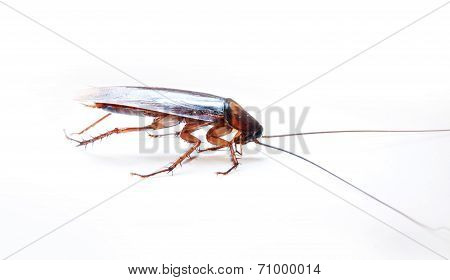 Cockroach Isolated On White.