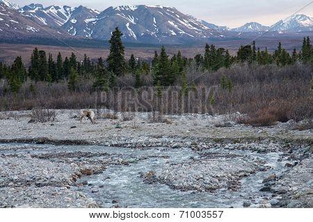 Scratching Caribou