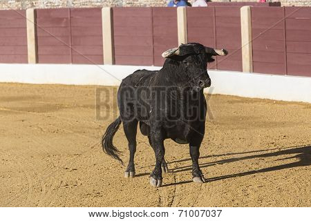 Bull about 650 Kg galloping in the sand right when I just got out of the bullpen in the Baeza bullri