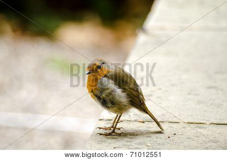 Quizzical Robin