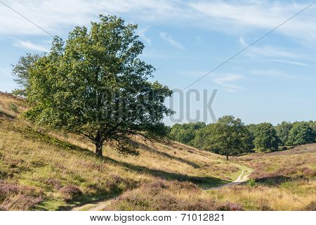 Tree On Hill Along Path In Heathland