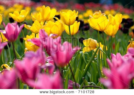 Pink tulip with nice background for background or others