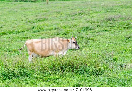 A lone Cow Eating Grass In Green Pasture
