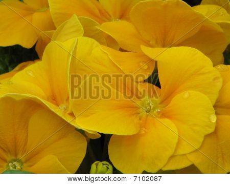 yellow viola 2776