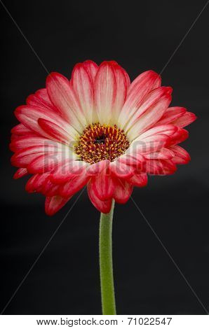 Gerbera on a Stem
