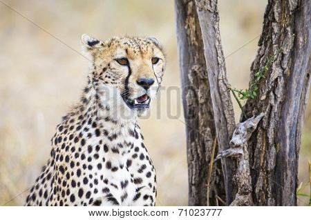 Cheetah looking after prey in Serengeti