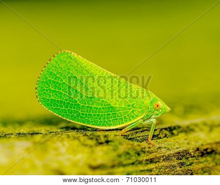 Green Leaf-hopper