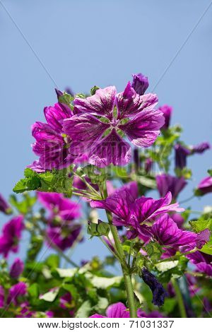 violet mallow