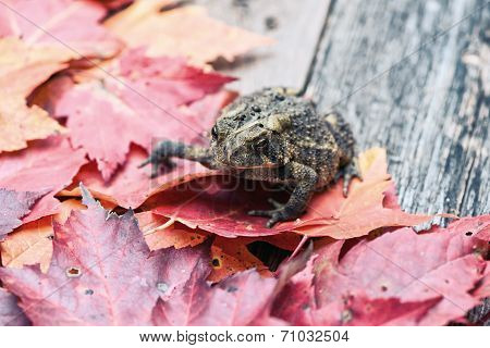 Close Up Of A Toad Amongst Fall Leaves