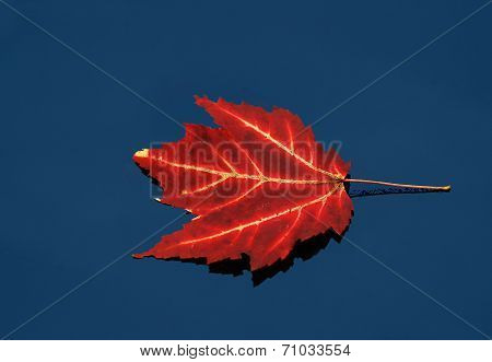 Floating Red Maple Leaf On Water