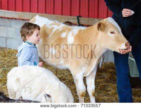Boy Watches A Person Feed A Calf