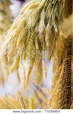 Bunch Or Sheaf Of Wheat Ears Hanging Outdoor