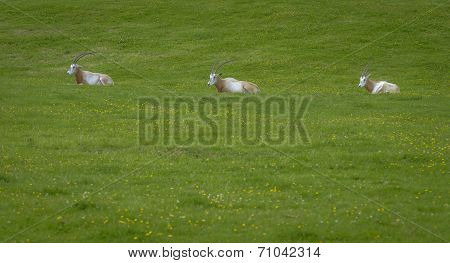 Three Oryx Gazella In A Green Field
