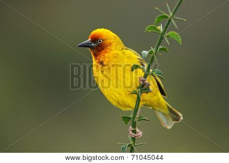 Male Cape weaver (Ploceus capensis) perched on a branch, South Africa