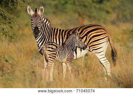 Plains zebra (Equus burchelli) mare with foal in natural habitat, South Africa, soft focus