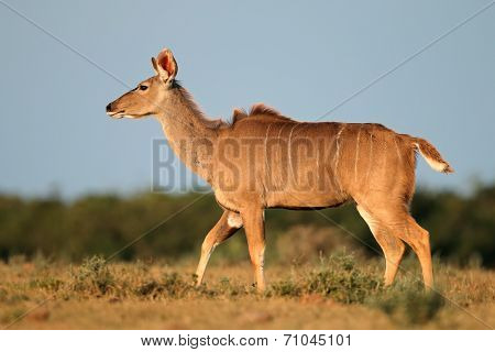 Female kudu antelope (Tragelaphus strepsiceros) against a blue sky, South Africa