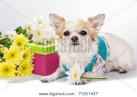 Beautiful Chihuahua dog with gift box and flowers