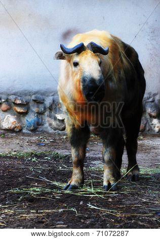 cloven-hoofed