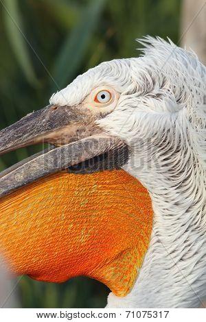Detail On Pelecanus Crispus Face