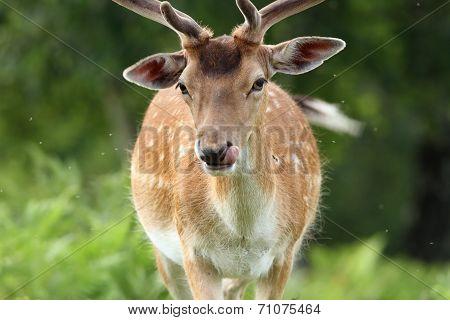 Male Fallow Deer Portrait