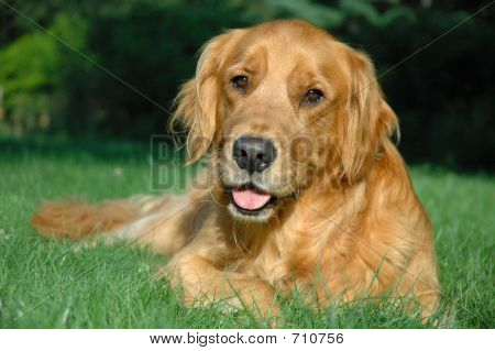 Golden Retriever Dog with a Happy Face