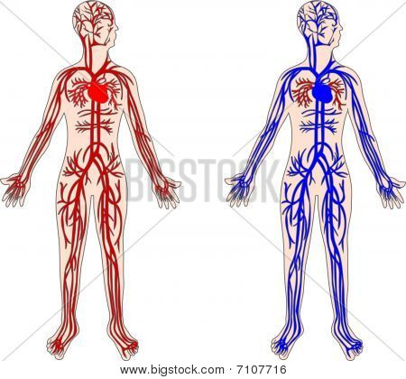 Cardiovascular blood system anatomy