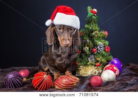 Dachshund With Red Santa Cap Near Decorated Christmas Tree