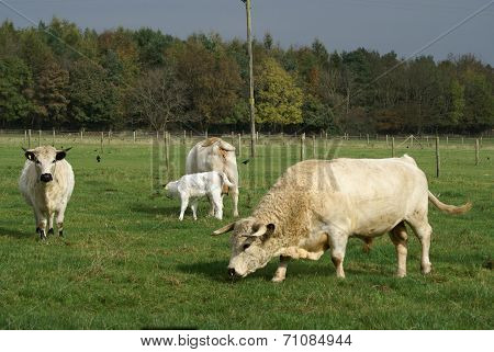 British white cattle of cow, bull, and calf