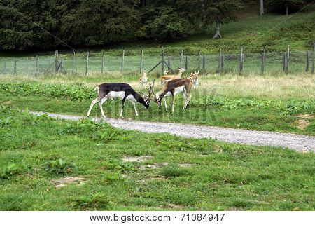 stags or deer fighting in a zoo