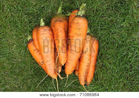 Washed carrots without tops from a garden-bed on a green grass