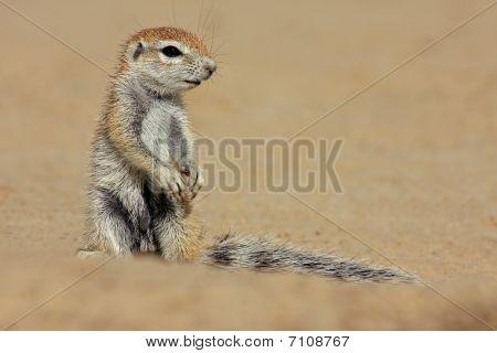 Ground Squirrel, Kalahari, South Africa