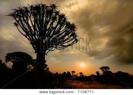 Quiver Tree Silhouette, Namibia, southern Africa