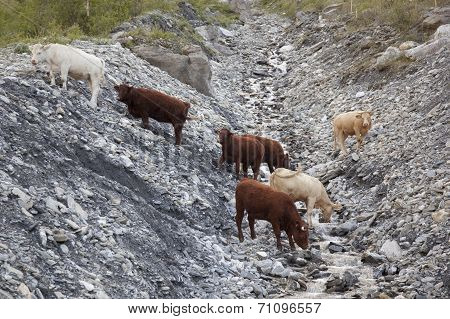 Cows Drinking From Stream In Beautiful Mountain Landscape