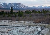 pic of caribou  - A lone caribou feeds by a river in Alaska - JPG