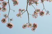 stock photo of lapacho  - Pink trumpet or Tatebuia blossom in blue sky - JPG