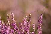 foto of dragonflies  - Closeup of a dragonfly resting in a field of heather - JPG