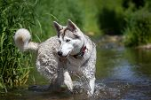 image of husky  - A Husky dog runs through the water of a stream near the shore - JPG