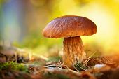 picture of edible mushroom  - Cep Mushroom Growing in Autumn Forest - JPG