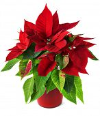 picture of poinsettia  - Red and green poinsettia plant for Christmas isolated on white background - JPG