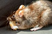 image of tame  - close up of rodent tame pet rat eating cake outdoor - JPG