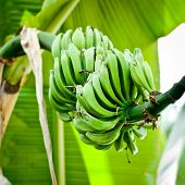 foto of bunch bananas  - Bunch of green bananas on tree - JPG