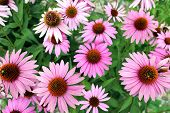 stock photo of black-eyed susans  - Pink black eyes susan in garden under sunshine - JPG