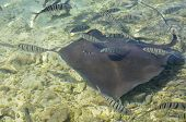 picture of sting  - French polynesia islands sting ray at moorea - JPG