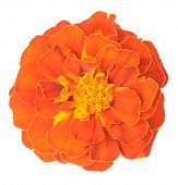 picture of marigold  - Dark orange African Marigold  - JPG